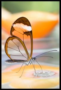 حقيقة الفراشة الشفافة