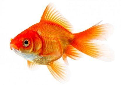 حقيقة ان ذاكرة السمكة 3 ثواني
