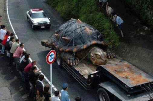 World largest tortoise found in amazon river. Its age around 529 years old _ height-59 feet_ weight-800 pounds OR 362.87 kg