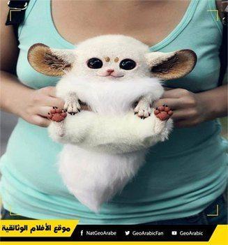 حقيقة صورة صغير الثعلب الأبيض