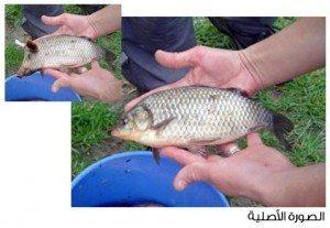 حقيقة سمكة برأس ديك