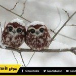 حقيقة صورة لـاثنان من صغار البوم بين الثلوج.