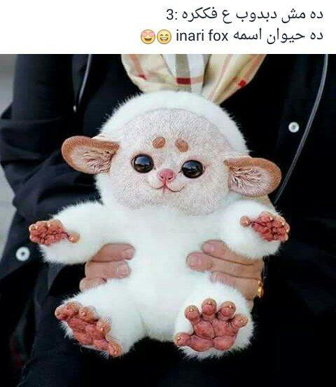 حقيقة صورة حيوان غريب Inari fox