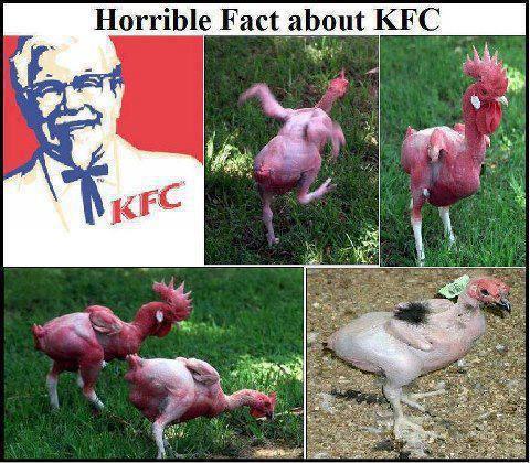 حقيقة إن دجاج كنتاكي معدل وراثياً