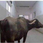 حقيقة جاموسة تتجول داخل مستشفى سوهاج