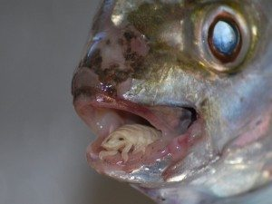 حقيقة حشرة في السمك