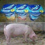 حقيقة إن زبادي دانون معمول من شحم الخنزير بنسبة 85%