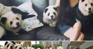 الصين هجنت كلاب الباندا من دب الباندا