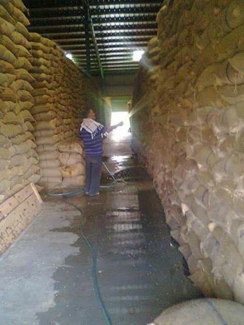 حقيقة رش القمح بالمياه في الاسكدرية
