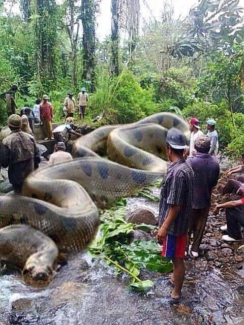 حقيقة اطول ثعبان اناكوندا في العالم