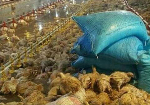حقيقة نفوق 12 الف دجاجة في مصر بسبب الأمطار